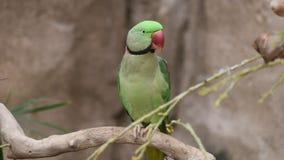 Un krameri Rose-anillado masculino del Psittacula del periquito encaramado en una rama de árbol almacen de video