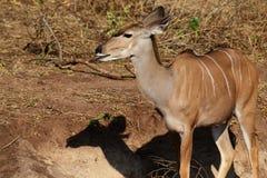 Un kudu femminile con la sua lingua fuori dopo la leccatura dei minerali dal fango nel Botswana fotografie stock libere da diritti