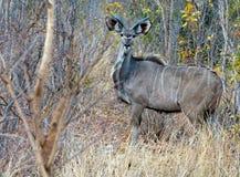 Un Kudu masculino adolescente solitario que se coloca entre arbusto denso Imagen de archivo