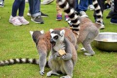 Un lémur étonné mangeant quelque chose images stock