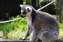 Un lémur Images libres de droits