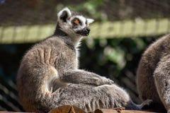Un lémur anillo-atado que se sienta en el sol fotografía de archivo libre de regalías