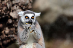 lémur Anneau-coupé la queue (catta de lémur) mangeant d'un fruit Image libre de droits