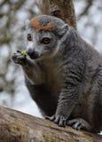 Un lémur coronado imagenes de archivo