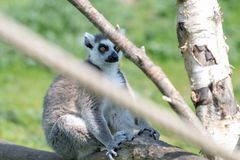 Un lémur coupé la queue par anneau détend sur une branche d'arbre au soleil photo stock