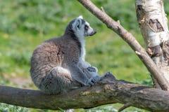 Un lémur coupé la queue par anneau détend sur une branche d'arbre au soleil photographie stock libre de droits