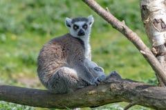 Un lémur coupé la queue par anneau détend sur une branche d'arbre au soleil photographie stock