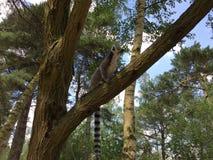 Un lémur en árbol fotos de archivo