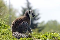 Un lémur en Italie Photos stock