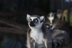 Un lémur est dans une stupéfaction images libres de droits