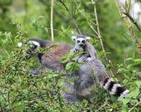 Un lémur et un bébé Image libre de droits