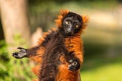 Un lémur superado rojo en Artis Fotografía de archivo libre de regalías