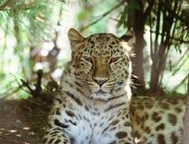 Un léopard de repos d'Amur Photo stock