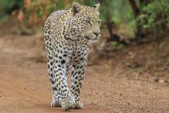 Un léopard flânant en bas d'un chemin de terre Photos libres de droits