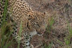 Un léopard marchant par des buissons dans Pilanesberg Photo libre de droits