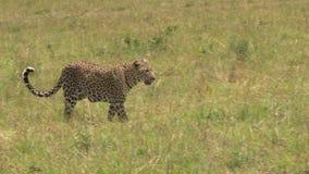 Un léopard marche à travers l'appareil-photo banque de vidéos