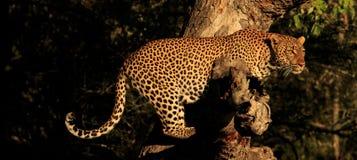 Un léopard sur un membre images stock