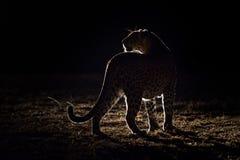 Un léopard sur sa patrouille nocturne faisant une pause dans la lumière de tache image stock