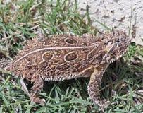 Un lézard à cornes du Texas dans l'herbe Image libre de droits