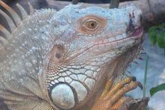 Un lézard dans sa clôture dans le zoo de Ho Chi Minh Ville Images libres de droits