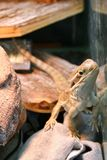 Un lézard de dragon des rankin est tenant et observant la caméra images stock