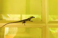 Un lézard minuscule dans les tropiques Image stock
