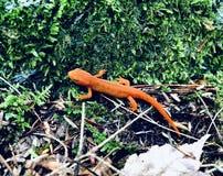 Un lézard orange au sol image libre de droits