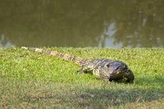 Un lézard rayé sauvage se reposant sur l'herbe par l'étang Images libres de droits