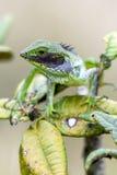 Un lézard vert et un x28 labiés noirs ; Calotes Nigrilabris& x29 ; chez Horton Plains National Park dans Sri Lanka photographie stock libre de droits