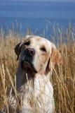 Un Labrador amarillo en campo Foto de archivo