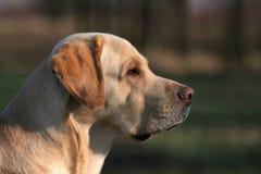 Un Labrador amarillo en el campo Fotos de archivo