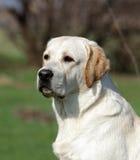 Un Labrador amarillo en el parque Imagenes de archivo