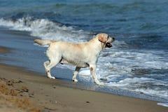 Un Labrador amarillo en la playa Imagen de archivo libre de regalías