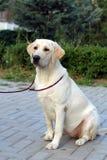 Un Labrador amarillo joven Fotografía de archivo libre de regalías