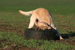 Un Labrador amarillo que juega en el campo Imagen de archivo libre de regalías