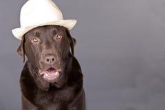 Un Labrador frais Photos libres de droits