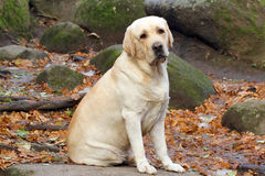 Un Labrador jaune en parc en automne Images libres de droits