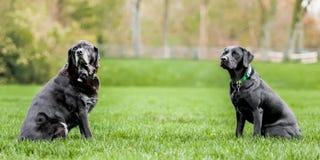 Un Labrador noir très vieux et jeune se reposant vis-à-vis de l'un l'autre avec beaucoup d'espace entre photographie stock libre de droits
