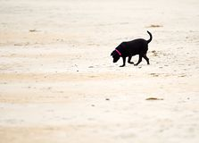 Un labrador retriever negro que juega en una playa arenosa foto de archivo
