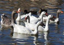 Un lac avec les canards noirs et blancs photo stock