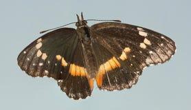 Un lacinia confinado de la mariposa, o de Chlosyne del remiendo Foto de archivo