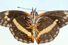 Un lacinia confinado de la mariposa, o de Chlosyne del remiendo Imagen de archivo libre de regalías