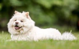 Un lado de mentira del perrito blanco del samoyedo encendido en un campo que mira la cámara foto de archivo libre de regalías
