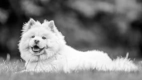 Un lado de mentira del perrito blanco del samoyedo encendido en un campo que mira la cámara fotos de archivo libres de regalías