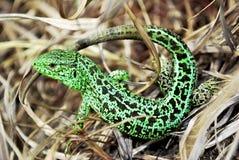 Un lagarto Foto de archivo libre de regalías