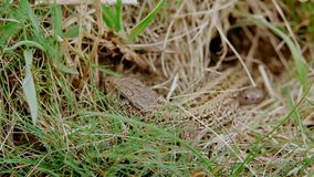 Un lagarto común marrón metrajes