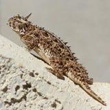 Un lagarto de cuernos de Tejas contra una pared del estuco Fotos de archivo libres de regalías