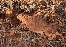 Un lagarto de cuernos del color marrón anaranjado entre las ramitas caidas del pino en el desierto de Utah meridional Foto de archivo libre de regalías