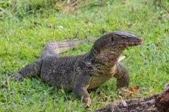 Un lagarto de monitor escalado grande en un parque en Tailandia está cazando en la hierba imagenes de archivo