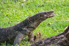 Un lagarto de monitor escalado grande en un parque en Tailandia está cazando en la hierba fotografía de archivo libre de regalías